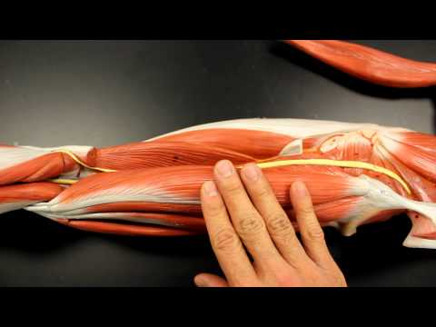 MUSCULAR SYSTEM ANATOMY: Posterior thigh region muscles model description. Somso
