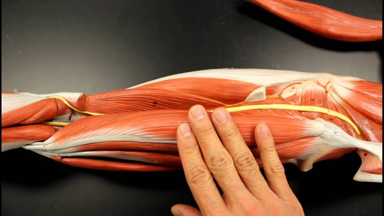 Muscular System Anatomy  Posterior Thigh Region Muscles Model Description  Somso