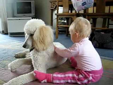Baby being Gentle with Standard Poodle