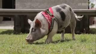 ¿Cómo es vivir con un mini pig?
