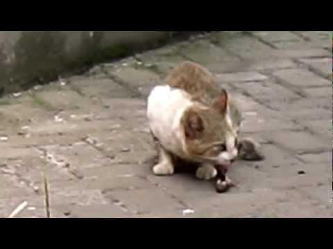a Cat preys bird (kucing makan burung hidup hidup)