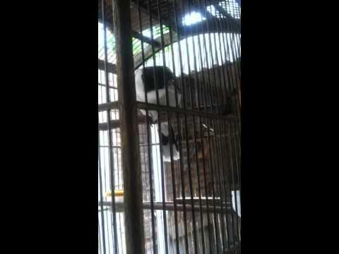 "Jagal papua leher putih belajar bunyi ""ndz"""