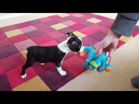 Boston Terrier Puppy - Ruby, first day home
