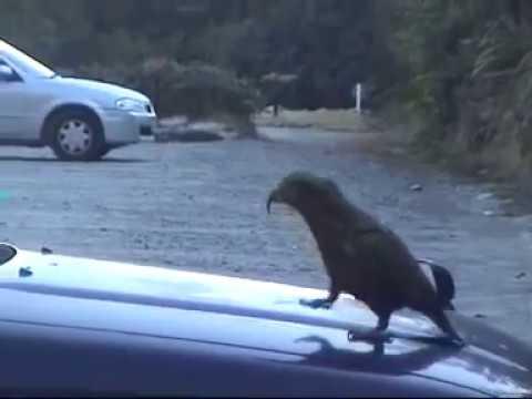kea Parrot Trouble