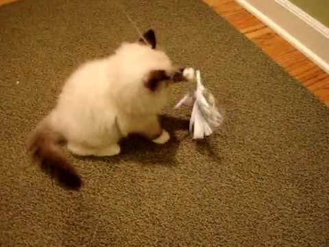 Diy cat toys ragdoll kitten playing with a homemade cat for Best homemade cat toys