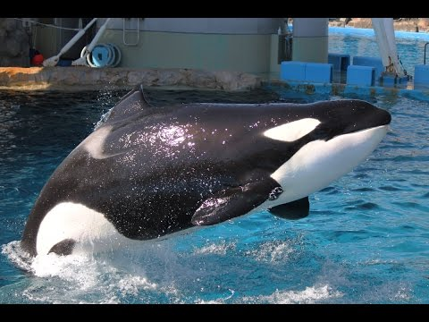 Killer Whale Training Session (2) at Port of Nagoya Public Aquarium 名古屋港水族館 シャチ公開トレーニング