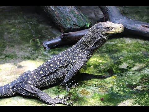 Indonesia Reptile Farm-part 2 VARANUS