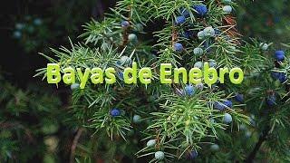 Aplicaciones medicinales de las bayas del enebro propiedades y beneficios.