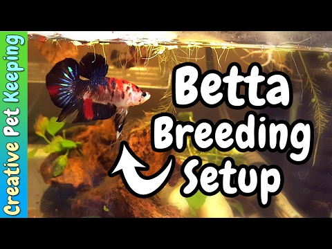 Betta Breeding Tank Setup and moving the fishroom to the KITCHEN!?    Fish Fan Friday Vlog