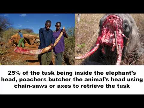 [GRAPHIC] Raising Awareness - Elephants and Rhinos Poaching