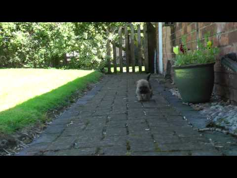 Adorable Border Terrier Cross Shih Tzu Puppy Exploring Home Youtube