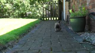 Adorable Border Terrier Cross Shih Tzu Puppy Exploring Home