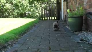 Adorable Border Terrier Cross Shih Tzu Puppy Exploring Home