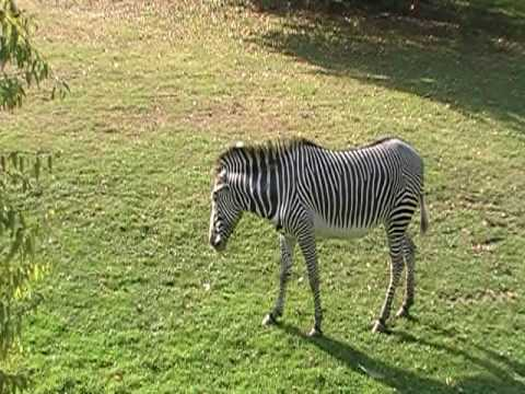 Zebras Humping