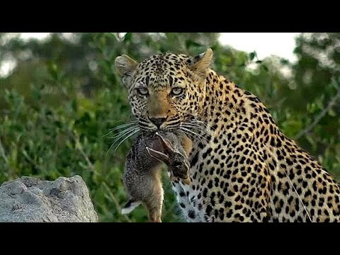 WE SafariLive- Big Cats In All Shapes, Colors And Sizes!