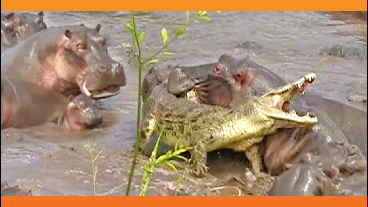 f84f16a8e 30+ Hippos Attack One Crocodile - YouTube