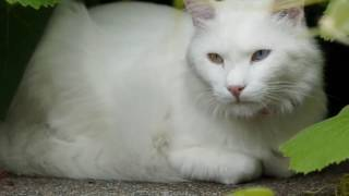 Turkish Angora cat History, Personality, Health, Care