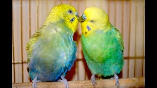 Половое поведение волнистых. Радужные попугаи.