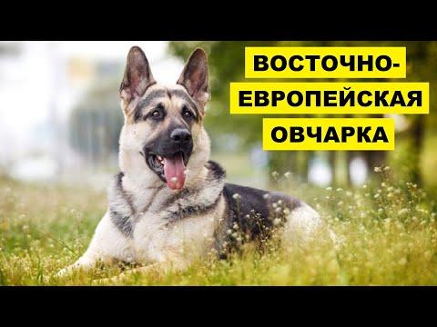 Восточно европейская овчарка плюсы и минусы | Порода собак восточно европейская овчарка