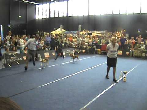 WDS 2012 beagle best male judging