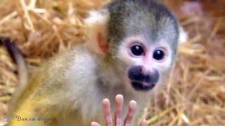 Саймири (Беличья обезьяна)/Saimiri (Squirrel monkey)