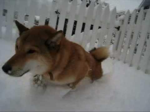 Sasha the Shiba Inu - SNOW DAY !!