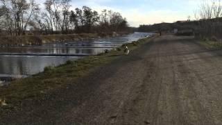 Cardigan Welsh Corgi & Swedish Vallhund