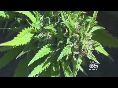 Siskiyou County Sheriff Claims Drug Cartel Behind Pot Grows, While Hmong Cite Discrimination