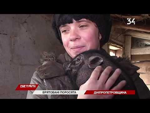 34 телеканал: На Днепропетровщине волонтеры спасли семью вьетнамских поросят