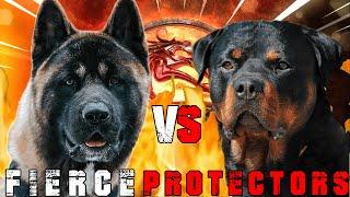 American Akita vs Rottweiler   Rottweiler vs Akita   Powerful Guard Dog?   Billa Boyka  
