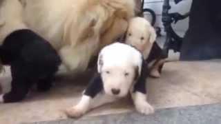 オールド・イングリッシュ・シープドッグの仔犬 2014年11月12日...