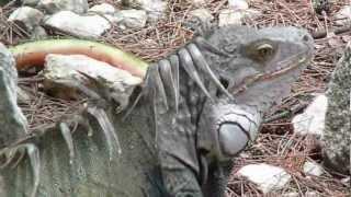 Big lizzard like creatures on Royal Caribbean Bahama island Coco Cay.