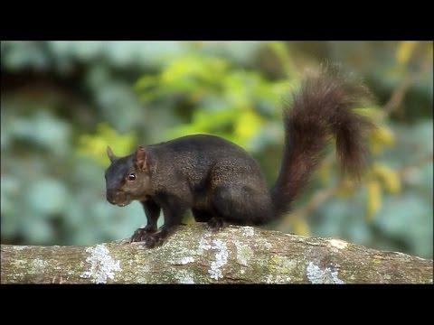 Eastern Grey Squirrel: alarm calls, kuks and quaas