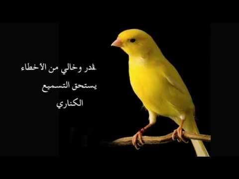 Chant Canari Super Pour l'écolage des jeunes - من أجمل تغاريد طائر الكناري لتسميع الفراخ