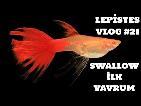 Lepistes Vlog #21 (Swallow İlk Yavrum)