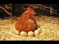 Гнездо для курицы несушки своими руками