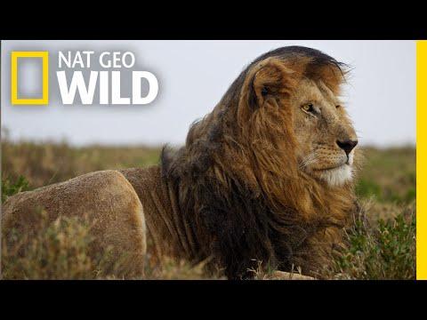 Lions 101 | Nat Geo Wild