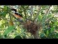 Burung Yang Pandai Menirukan Suara  Mp3 - Mp4 Download