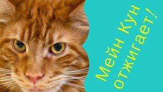 Кот Мейн Кун (Майс) и его друг (Скай) прикольно резвятся