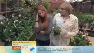 видео Бедренец-камнеломка