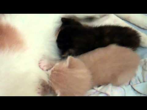 Two kittens nursing and kneading