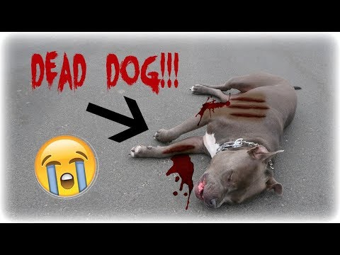 DEAD DOG PRANK ON BOYFRIEND!! (EXTREME: HE CRIES!!) | The Life of K&K
