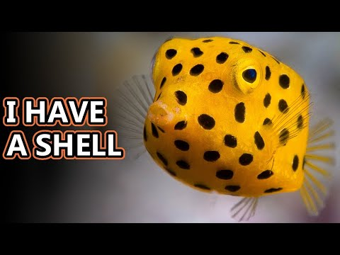 Cowfish Facts: Also Boxfish Facts | Animal Fact Files