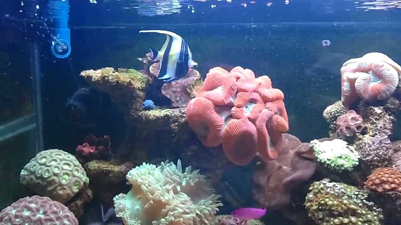 Moorish Idol On Reef Tank Mp4 Youtube
