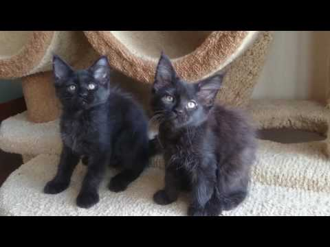 Black Maine coon kittens