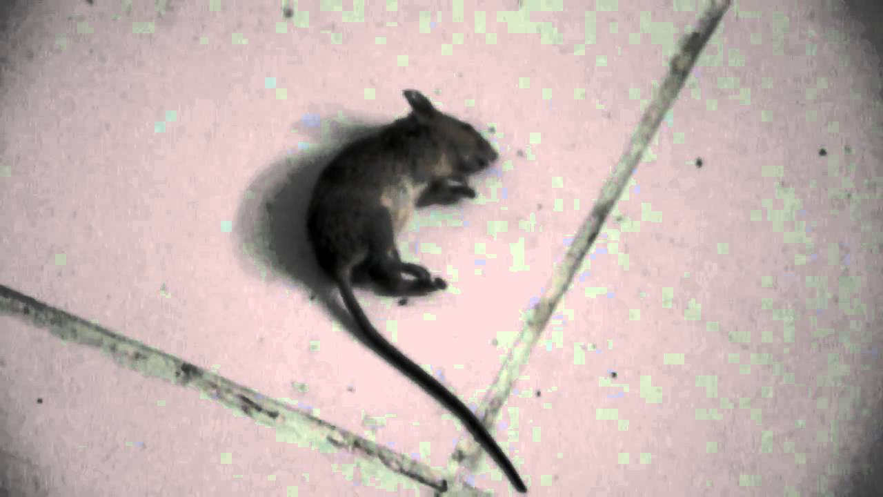 mortein rat kill youtube. Black Bedroom Furniture Sets. Home Design Ideas
