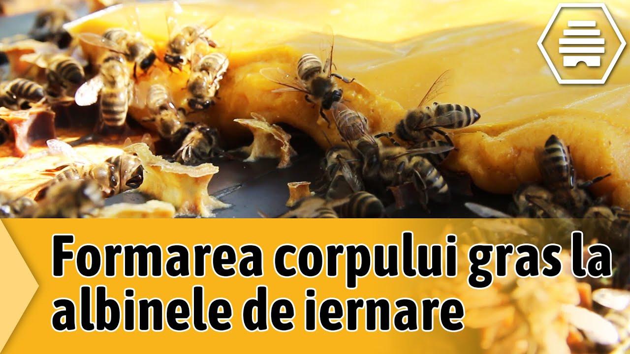ucigaș hipergenetic albine de grăsime)