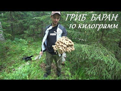 ГРИБ БАРАН,САМЫЙ РЕДКИЙ