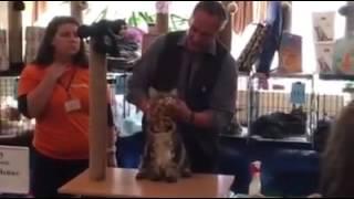 Кот мейн кун ApolloPride Zein на монопородном шоу. Выставка кошек  Котомир-2016 Новосибирск