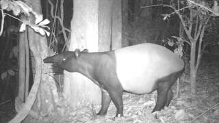 Wildlife Thailand - Malayan Tapir in Kaeng Krachan (Tapirus indicus)